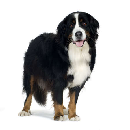 Bernese mountain dog (4 years) in front of a white background photo