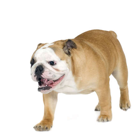 stitting: english Bulldog cream (6 months) in front of a white background