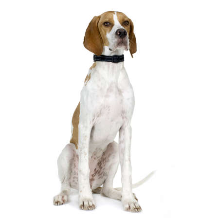pointers: English Pointer (5 months) in front of a white background