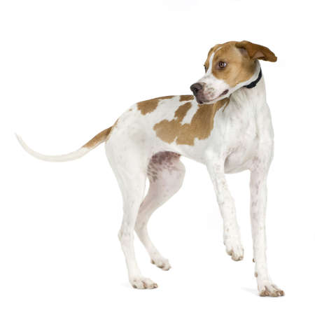 pointer dog: English Pointer (5 months) in front of a white background