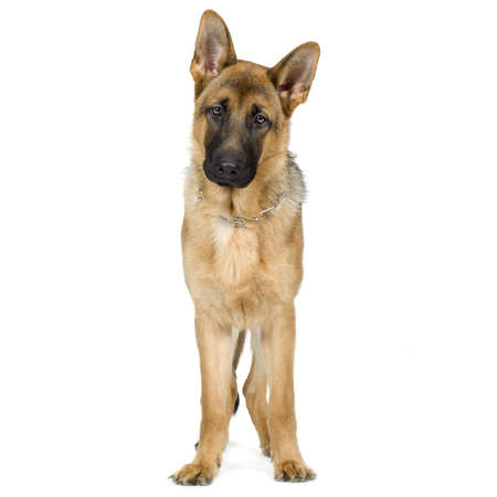 awaiting: german shepherd (7 months) in front of a white background