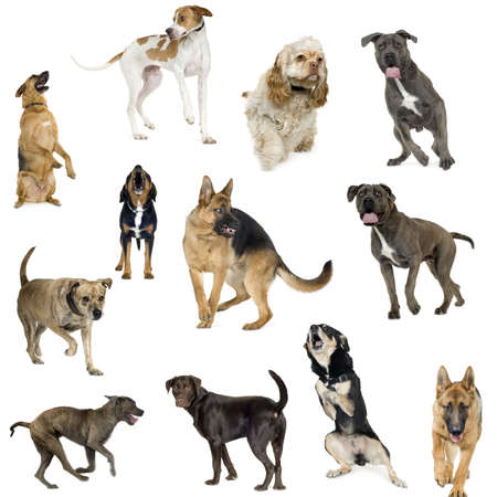 Collection of 12 dogs of different sizes and in different positions in front of a white background photo