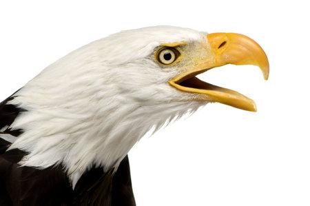 haliaeetus: Bald Eagle (22 years) - Haliaeetus leucocephalus in front of a white background Stock Photo