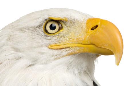 haliaeetus leucocephalus: Bald Eagle (22 years) - Haliaeetus leucocephalus in front of a white background Stock Photo