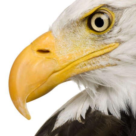 macro animals: Bald Eagle (22 years) - Haliaeetus leucocephalus in front of a white background Stock Photo