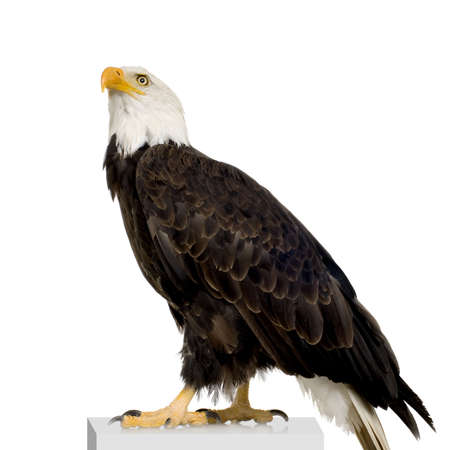 Bald Eagle (22 years) - Haliaeetus leucocephalus in front of a white background photo