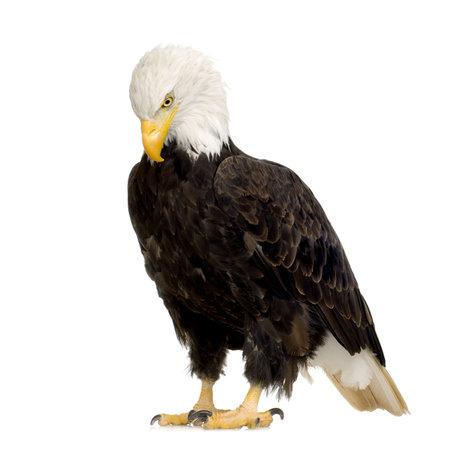 aguila calva: Bald Eagle (22 a�os) - Haliaeetus leucocephalus delante de un fondo blanco