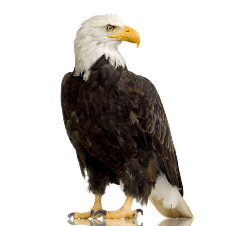 the bird of prey: Bald Eagle (22 years) - Haliaeetus leucocephalus in front of a white background Stock Photo