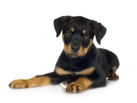 gardian: rottweiler (3 months) in front of a white background