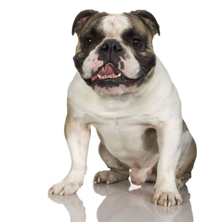stitting: english Bulldog cream (3 years) in front of a white background