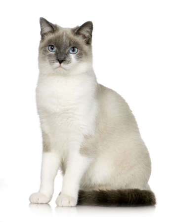 moggi: crossbreed between Siamese and Chartreux(6 months) in front of a white background