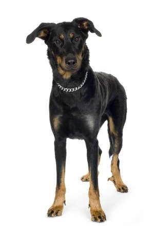 gardian: Beauceron in front of a white background Stock Photo