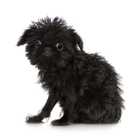 coward: Griffon Bruxellois (3 months) in front of A white background Stock Photo