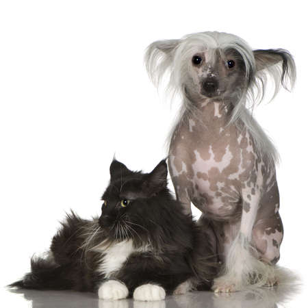 lapdog: chinese crested dog Hairless and maine coon in front of a white background