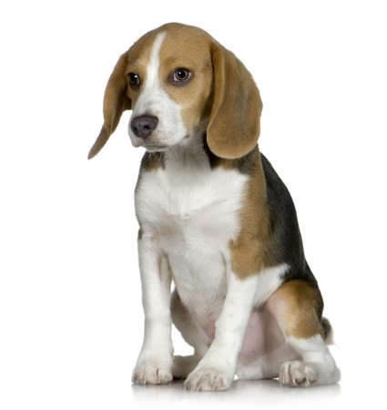 beagle terrier: Beagle  (5 months) in front of white background