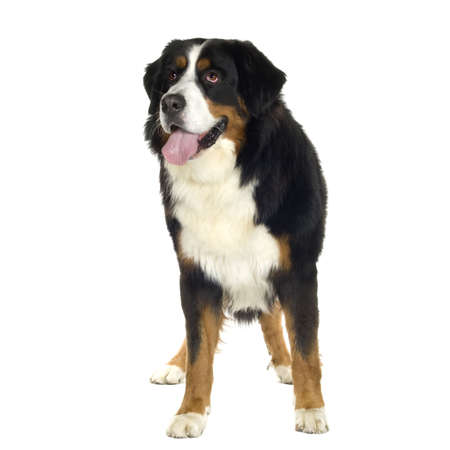 awaiting: Bernese mountain dog (10 years) in front of a white background Stock Photo