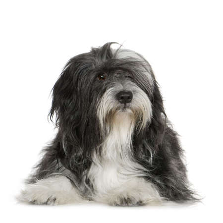 6 years: Tibetan Terrier (6 years) in front of a white background Stock Photo