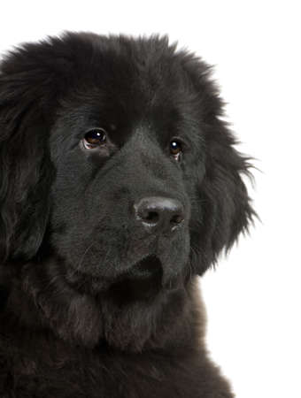 black and white newfoundland dog: Newfoundland (4 months) in front of white background