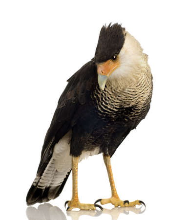 falconidae: Southern Caracara (3 years) - Polyborus plancus in front of a white background