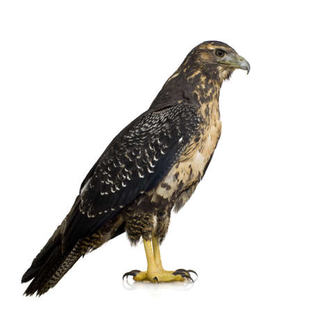 black plumage: Young Black-chested Buzzard-eagle () - Geranoaetus melanoleucus in front of a white background