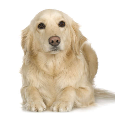 labrador retriever: Labrador Retriever cachorro crema delante de fondo blanco y frente a la c�mara