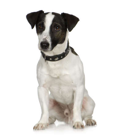 russell: Jack russell (2 years) in front of a white background Stock Photo