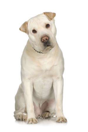 crossbreed: crossbreed between labrador and Sharpei in front of white background