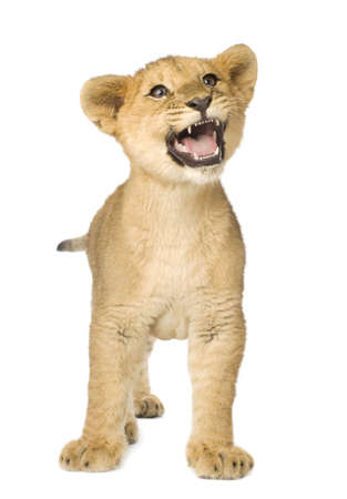 lion tail: Lion Cub (5 months) in front of a white background