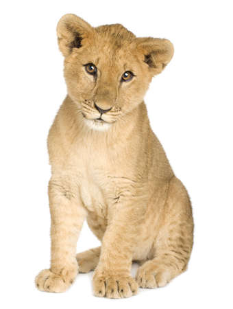 Lion Cub (5 months) in front of a white background