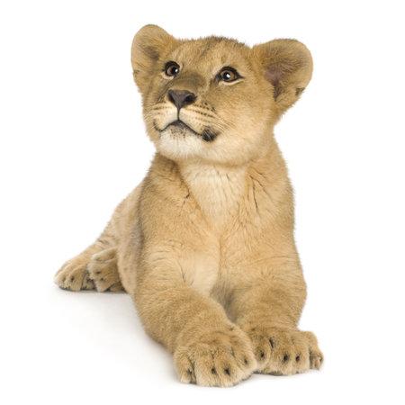 Lion Cub (5 mois) devant un fond blanc