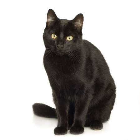 gato negro: Gato Negro en frente de un fondo blanco