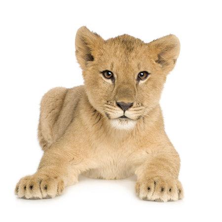カブ: 白い背景の前にライオンの子 (5 ヶ月) 写真素材