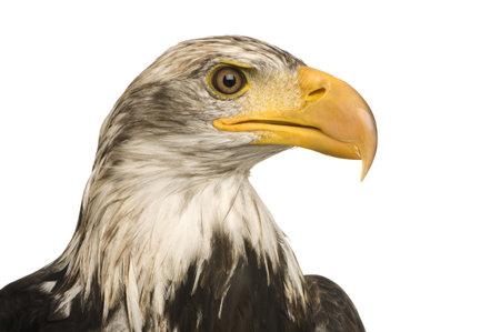 haliaeetus leucocephalus: Young Bald Eagle (5 years) - Haliaeetus leucocephalus in front of a white background Stock Photo