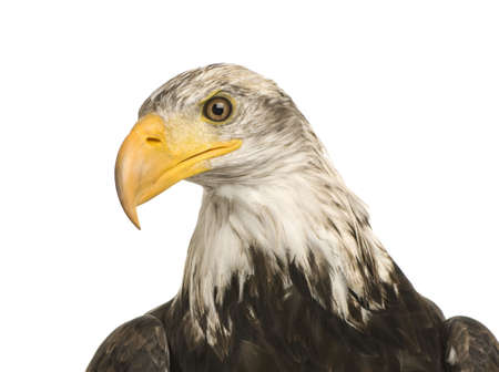 Young Bald Eagle (5 years) - Haliaeetus leucocephalus in front of a white background photo