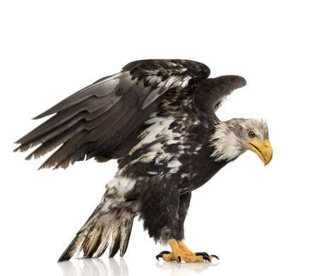 leucocephalus: Young Bald Eagle (5 years) - Haliaeetus leucocephalus in front of a white background Stock Photo