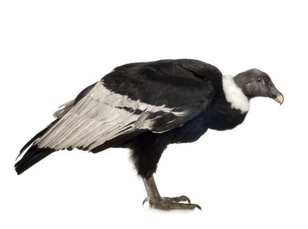 Andean Condor (15 years) Vultur gryphus -  in front of a white background Stock Photo - 2298696