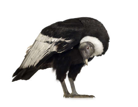 Andean Condor (15 years) Vultur gryphus -  in front of a white background Stock Photo - 2298689