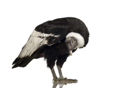 Andean Condor (15 years) Vultur gryphus -  in front of a white background Stock Photo - 2298695