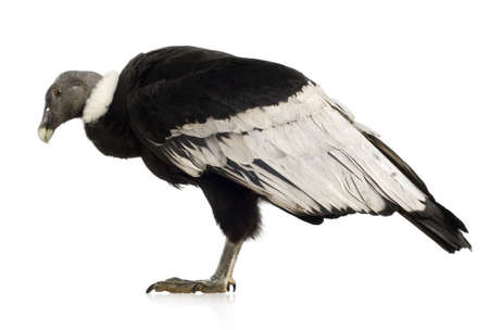 Andean Condor (15 years) Vultur gryphus -  in front of a white background photo