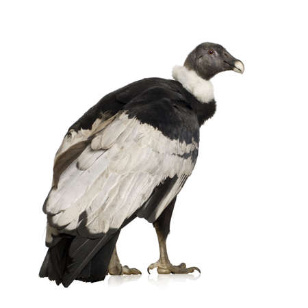condor: Andean Condor (15 years) Vultur gryphus -  in front of a white background Stock Photo