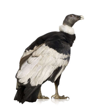 Andean Condor (15 years) Vultur gryphus -  in front of a white background Stock Photo - 2298676