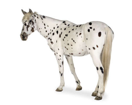 mare: Appaloosa horse in front of a white background
