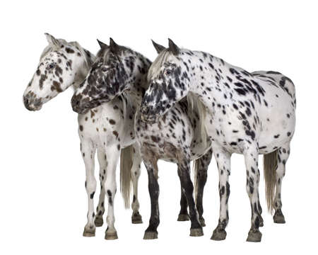 appaloosa: Appaloosa horse in front of a white background