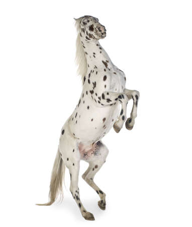 rearing: Appaloosa horse in front of a white background