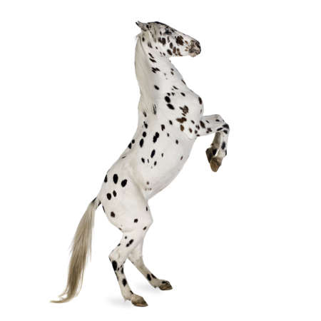 equitation: Appaloosa horse in front of a white background