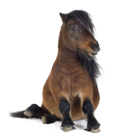ponies: Shetland pony  in front of a white background