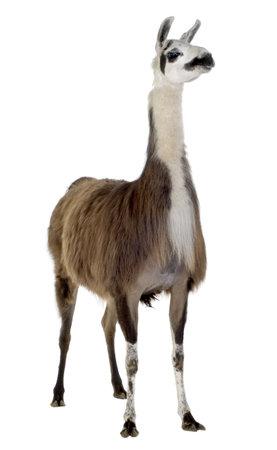lama: Lama - Lama glama in front of a white background