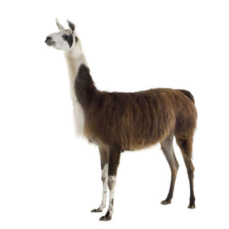 alpaca: Lama - Lama glama in front of a white background