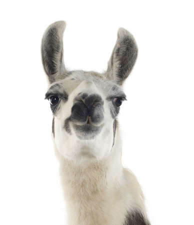 the lama: Lama - Lama glama in front of a white background
