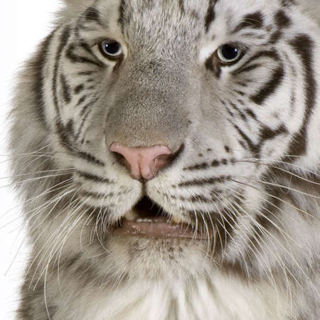 White Tiger in front of a white background Stock Photo - 2298723